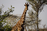 Kenya, Laikipia, Il Ngwesi, Reticulated Giraffes in the Bush Photographic Print by Anthony Asael