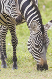 Adult Female Zebra Grazing with Her Colt, Ngorongoro, Tanzania Photographic Print by James Heupel