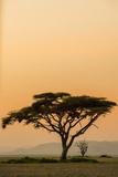 East Kenya, Amboseli NP, Sunset, Acacia Tree with Weaver Nests Reproduction photographique par Alison Jones