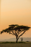 East Kenya, Amboseli NP, Sunset, Acacia Tree with Weaver Nests Photographic Print by Alison Jones