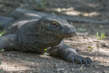 Indonesia, Komodo Island. Komodo NP, UNESCO. Famous Komodo Dragon Photographic Print by Cindy Miller Hopkins