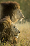Botswana, Moremi Game Reserve, Lions in Morning Sun in Okavango Delta Photographic Print by Paul Souders