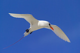 Cook Islands, South Pacific. Red-Tailed Tropicbird Photographic Print by Janet Muir
