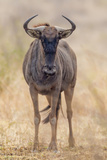 South Londolozi Private Game Reserve. Frontal View of Gnu Photographic Print by Fred Lord