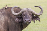 Cape Buffalo with Yellow Ox Pecker Bird, Ngorongoro, Tanzania Photographic Print by James Heupel