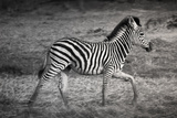 Shinde Camp, Okavango Delta, Botswana, Africa. Young Plains Zebra Photographic Print by Janet Muir