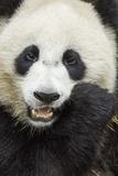 China, Sichuan Province, Chengdu, Pgiant Panda Bear Feeding on Bamboo Photographic Print by Paul Souders