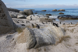 South Cape Town, Simon's Town. African Penguins at Foxy Beach Photographic Print by Cindy Miller Hopkins