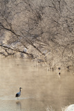 Red Crowned Cranes in Frozen River at Dawn Hokkaido Japan Fotodruck von Peter Adams