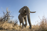 Botswana, Chobe NP, African Elephant Walking on a Path in Savuti Marsh Photographic Print by Paul Souders