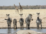 Namibia, Etosha National Park. Five Zebras and Giraffes at Waterhole Photographic Print by Wendy Kaveney