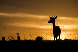 Kenya, Maasai Mara, Mara Triangle, Mara River Basin, Impalas at Sunset Photographic Print by Alison Jones