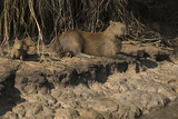Capybara, Northern Pantanal, Mato Grosso, Brazil Photographic Print by Pete Oxford