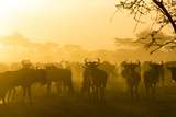 Herd of Wildebeests Silhouetted in Golden Dust, Ngorongoro, Tanzania Photographic Print by James Heupel