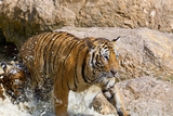 Indochinese Tiger or Corbett's Tiger, Thailand Photographic Print by Peter Adams