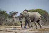 Botswana, Nxai Pan NP, African Elephant Running in Kalahari Desert Photographic Print by Paul Souders