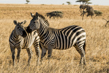 Kenya, Chyulu Hills, Mbirikani, Pair of Burchell's Zebra Photographic Print by Alison Jones