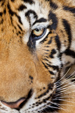 Portrait, Indochinese Tiger or Corbett's Tiger, Thailand Photographic Print by Peter Adams