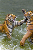 Tigers Play Fighting in Water, Indochinese Tiger, Thailand Photographic Print by Peter Adams