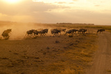 Kenya, Amboseli National Park, Wildebeest Running at Sunset Photographic Print by Anthony Asael