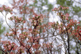 Pink Dogwood Photographic Print by Anna Miller