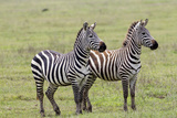 Two Zebras Stand Side by Side, Alert, Ngorongoro, Tanzania Photographic Print by James Heupel