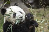 China, Sichuan, Chengdu, Giant Panda Bear Feeding on Bamboo Shoots Photographic Print by Paul Souders
