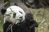 China, Sichuan, Chengdu, Giant Panda Bear Feeding on Bamboo Shoots Photographic Print by Paul Souders