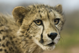 Livingstone, Zambia, Africa. Close-up of a Cheetah Cub Photographic Print by Janet Muir