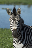 South Durban. Tala Game Reserve. Plains Zebra in Front of Pond Photographic Print by Cindy Miller Hopkins