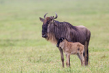 Wildebeest Besides its Calf, Ngorongoro Conservation Area, Tanzania Photographic Print by James Heupel