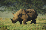 Kenya, Lake Nakuru NP, White Rhinoceros or Square-Lipped Rhinoceros Photographic Print by Anthony Asael