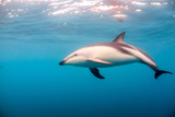 A Dusky Dolphin Swimming, South Island, New Zealand Photographic Print by James White