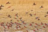Okavango Delta, Shinde Camp, Botswana, Africa. Little Bee-Eaters Fotografisk tryk af Janet Muir