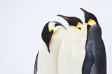 Snow Hill, Antarctica. Three Emperor Penguins. High Key Photographic Print by Janet Muir