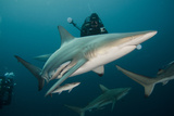 Shark and Remora, Shark Dive, Umkomaas, KwaZulu-Natal, South Africa Photographic Print by Pete Oxford