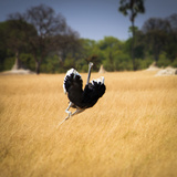 Male Ostrich Running in Grass, Leaning to Right Fotografisk tryk af Sheila Haddad