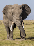 East Kenya, Amboseli National Park, Elephant (Loxodanta Africana) Photographic Print by Alison Jones