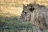 Male Lion Standing Intense Look-Close Up Photographic Print by Sheila Haddad
