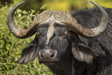 Botswana, Chobe NP, Red Billed Oxpecker on Nose of Cape Buffalo Photographic Print by Paul Souders