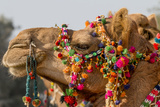 Camels Decorated for a Desert Festival. Jaisalmer. Rajasthan. India Photographic Print by Tom Norring