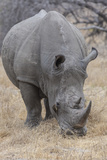 South Londolozi Private Game Reserve. Close-up of Rhinoceros Grazing Photographic Print by Fred Lord