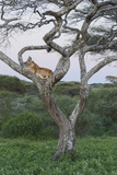 Lionness Lies in an Acacia, Ngorongoro Conservation Area, Tanzania Photographic Print by James Heupel