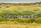 Chile, Patagonia, Tierra del Fuego. King Penguin Colony Photographic Print by Cathy & Gordon Illg