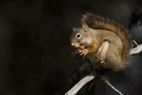 Red Squirrel Photographic Print by Ken Archer