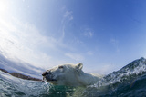Canada, Nunavut Territory, Repulse Bay, Polar Bear Swimming Photographic Print by Paul Souders