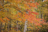 USA, Michigan, Upper Peninsula. Red Maple Trees in Autumn Color Photographic Print by Don Grall