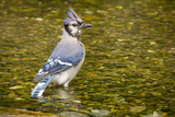 Blue Jay in Midst of Bathing, Illinois Photographic Print by Rob Sheppard