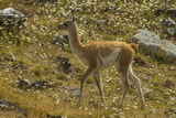 Chile, Patagonia, Torres del Paine National Park. Young Guanaco Photographic Print by Cathy & Gordon Illg
