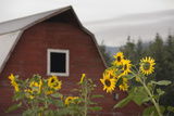 Canada, B.C., Vancouver Island, Cowichan Valley. Sunflowers by a Barn Fotografisk tryk af Kevin Oke